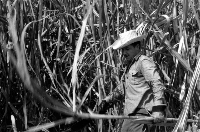 """Raul Castro cuts sugar cane in the fields of Cuba in 1970. After then-Premier Fidel Castro described the 1969 sugar harvest as an \""""agony for the country,\"""" he declared the key to economic advancement would come through increased sugar production and set a goal for the 1970 harvest to produce 10 million tons of sugar. The government put in place a model for \""""war economy,\"""" and redirected most resources into the sugar sector. Between November and July,Cuban industrial employees, city dwellers, school children, housewives, government officials and a \""""brigade\"""" of Russians and Americans took to the fields wielding machetes."""