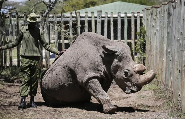 Image: Sudan White Rhino
