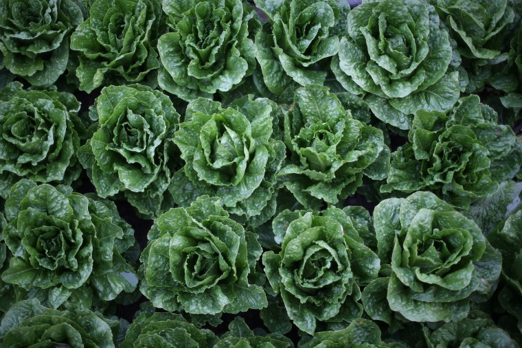 Image: Romaine lettuces grow in a field