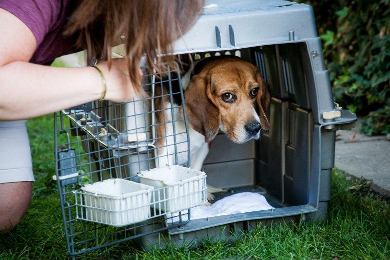 Image: Beagle rescue