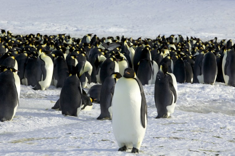 Image: Emperor penguins