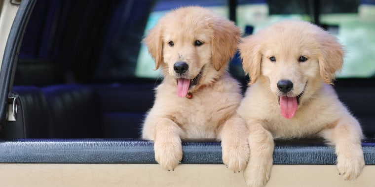 Puppies Reach Peak Cuteness At 8 Weeks Old According To Study