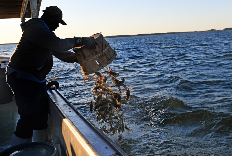 Banner Year Forecast For Lower Chesapeake Blue Crabs