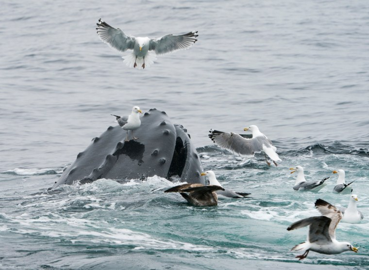 Image: A gull stands on the rostrum of a feeding humpback