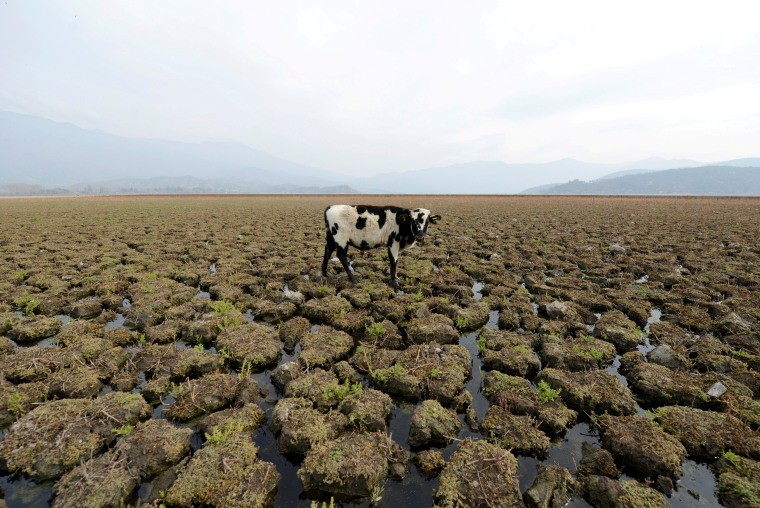 Image: A cow stands on land that used to be filled with water at the Aculeo Lagoon in Paine, Chile