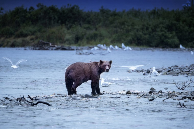 Image: Brown bears fish for salmon in Katmai National Park, Alaska