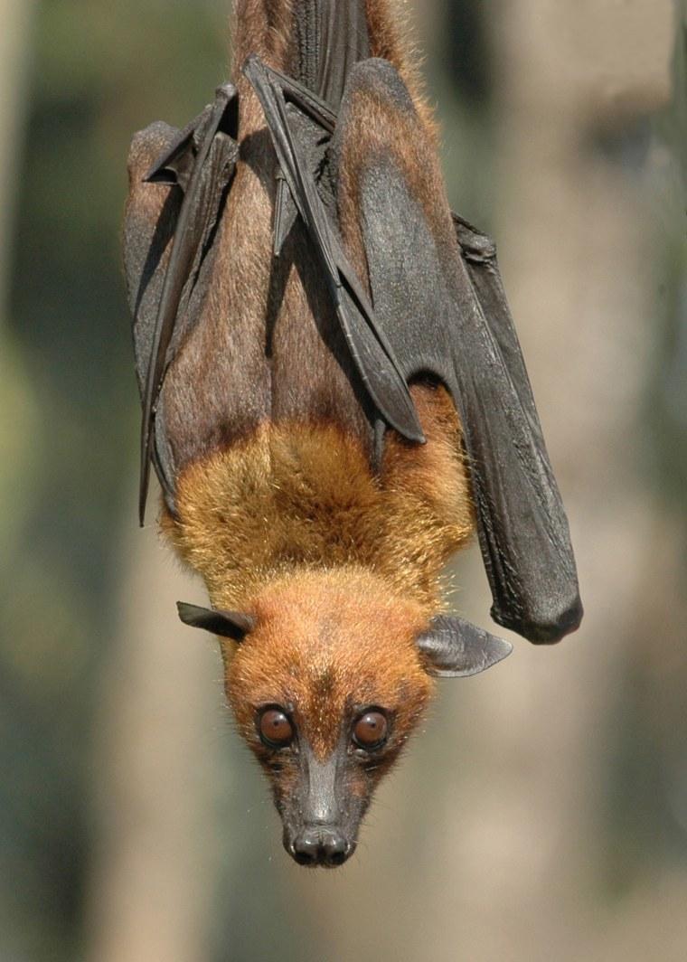 Image: A giant fruit bat