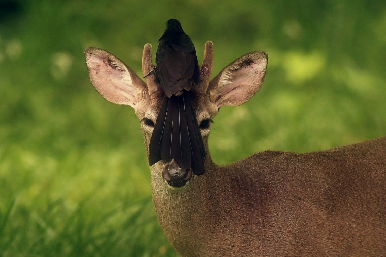 Image: A bird rests on the head of a white-tailed deer
