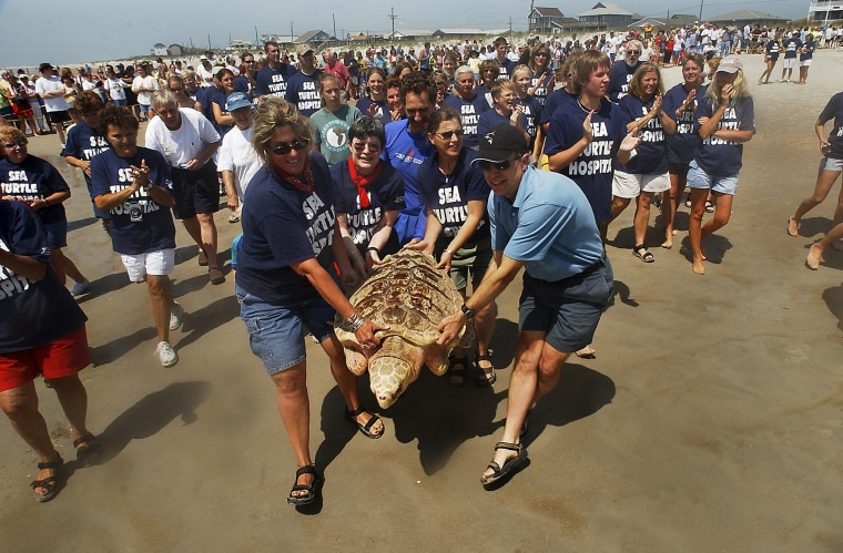 Image: Rehabilitated Sea Turtles Returned To The Wild