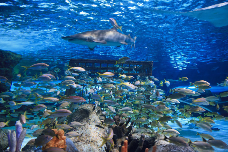 Sandtiger shark and yellowtail snapper are swimming in an aquarium in SC.