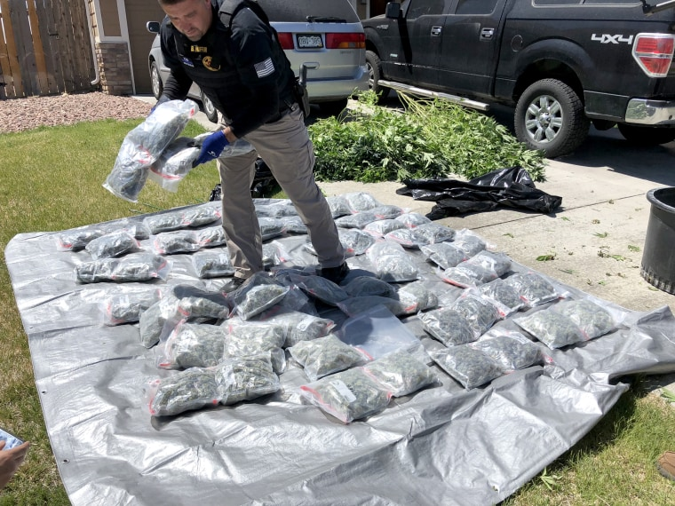 Image: An El Paso County sheriff's deputy processes bags of distribution-ready marijuana seized from an illegal grow house