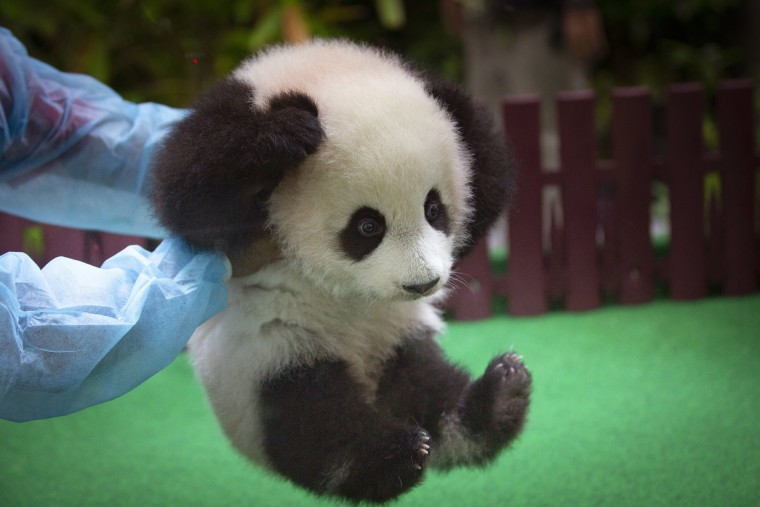 Image: An employee plays with a 5-month old baby panda during her first public appearance at the zoo in Kuala Lumpur