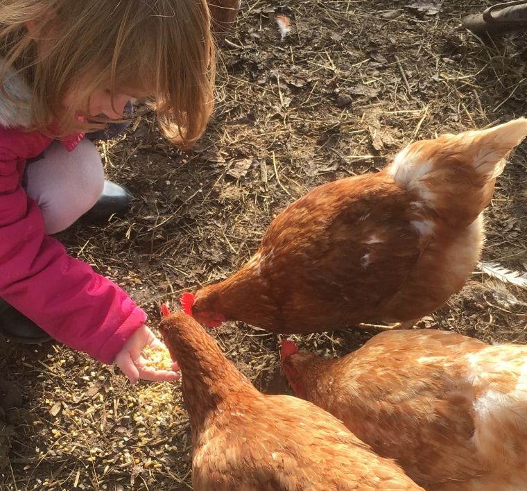 Josh Singerland's daughter, Lolly, feeding her chickens.