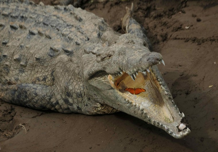 Image: A butterfly flies into the jaws of a crocodile