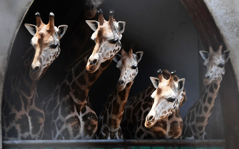 Image: Giraffes watch from their enclosure as a newborn giraffe calf and its mother are separated from others at a zoo