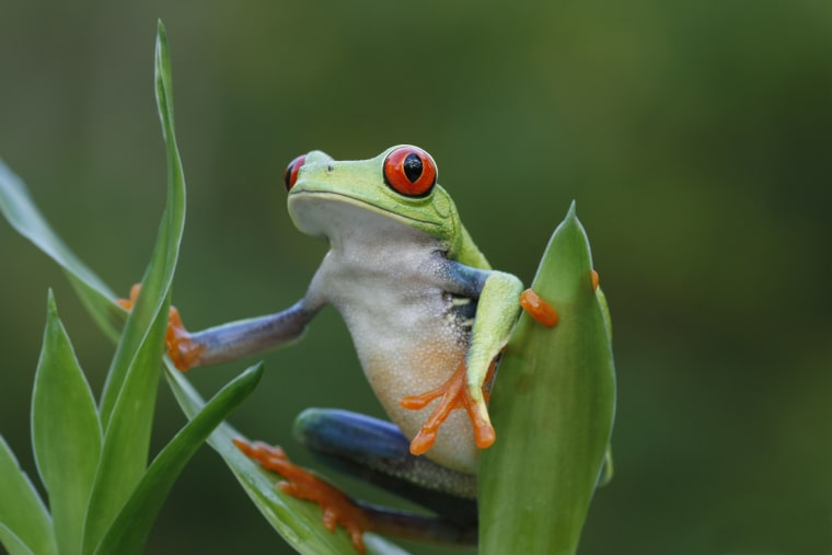 Rainforest View - Red Eyed Tree Frog