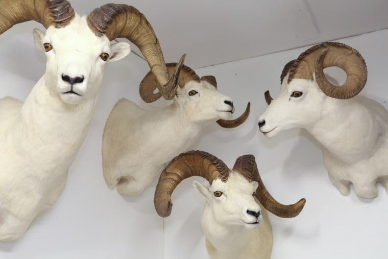Image: Some of Tyler Freel's Dall sheep ram mounts in Fairbanks