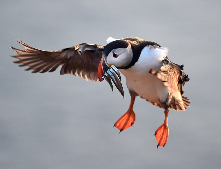 Image: An Atlantic Puffin with sand eels in its bill flies to its burrow on the island of Skomer, Pembrokeshire, one of the most important wildlife sites in Europe and the breeding place for over 30,000 Atlantic Puffins, in Wales