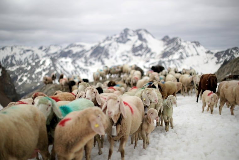 Image: Shepherds lead sheep through an alpine crossing in South Tyrol, Italy