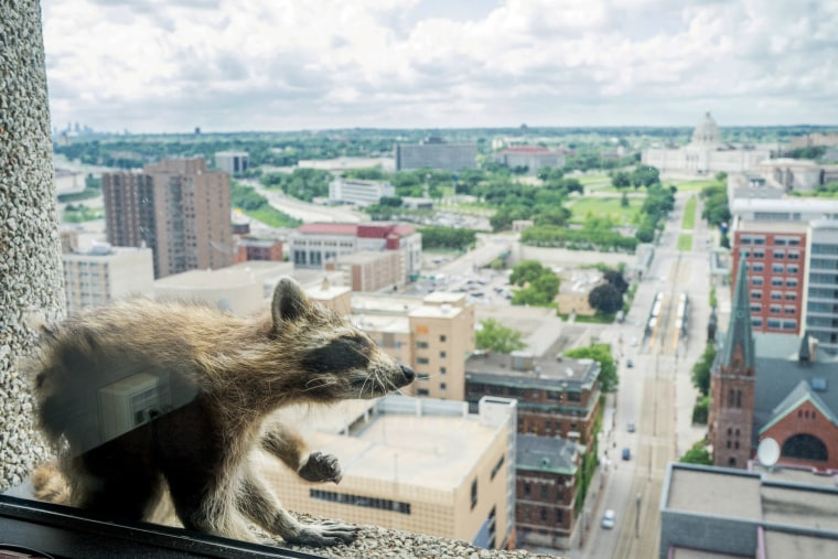 Image: A raccoon sits on the ledge of an office window on the 23rd floor of the UBS Plaza building in downtown St. Paul