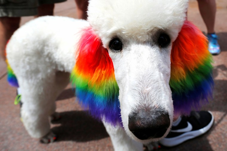 Image: A poodle named Claire has her ears dyed with rainbow colours for Boston's 48th Pride Parade in Boston