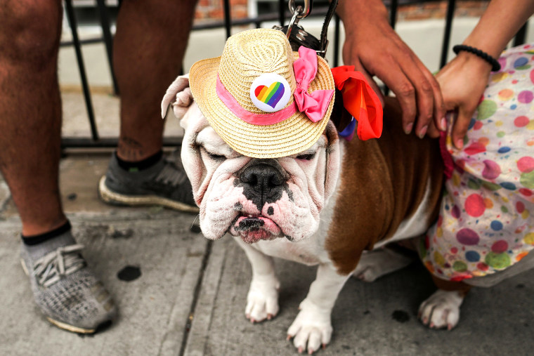 Image: A dog is seen during the Pride day parade in the Queens borough of New York City