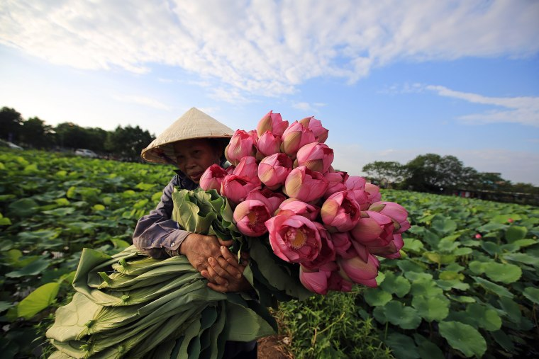 Image: Lotus season in Vietnam