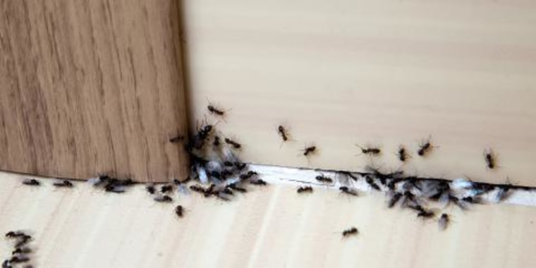 Swell How To Get Rid Of Ants In Your House Download Free Architecture Designs Jebrpmadebymaigaardcom