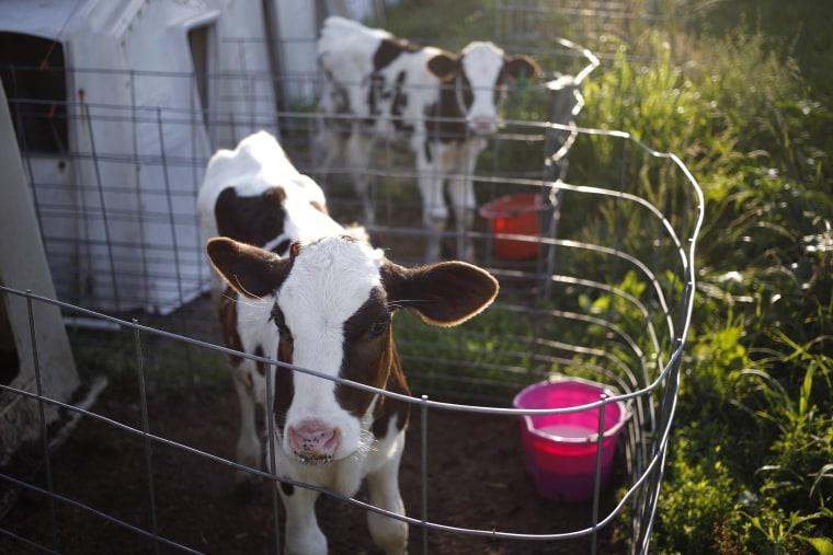 Image: holstein calves