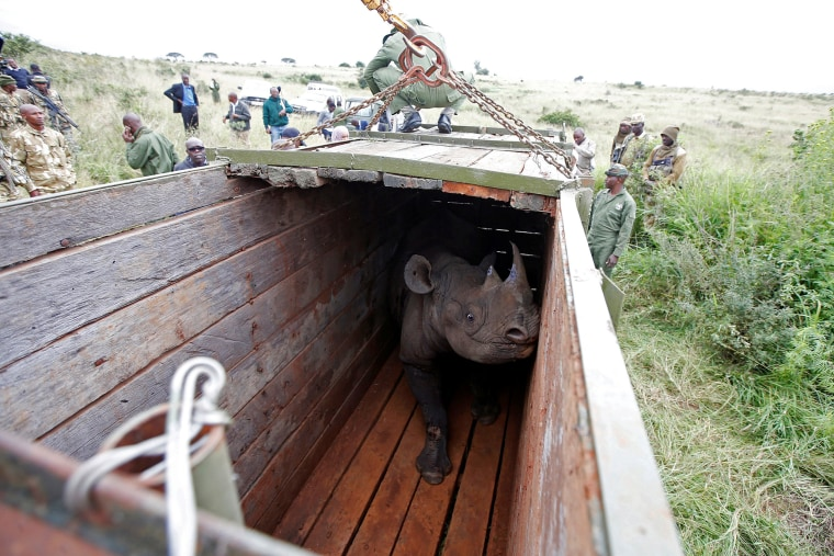 Image: A female black Rhino stands in a box before being transported during rhino translocation exercise In the Nairobi National Park