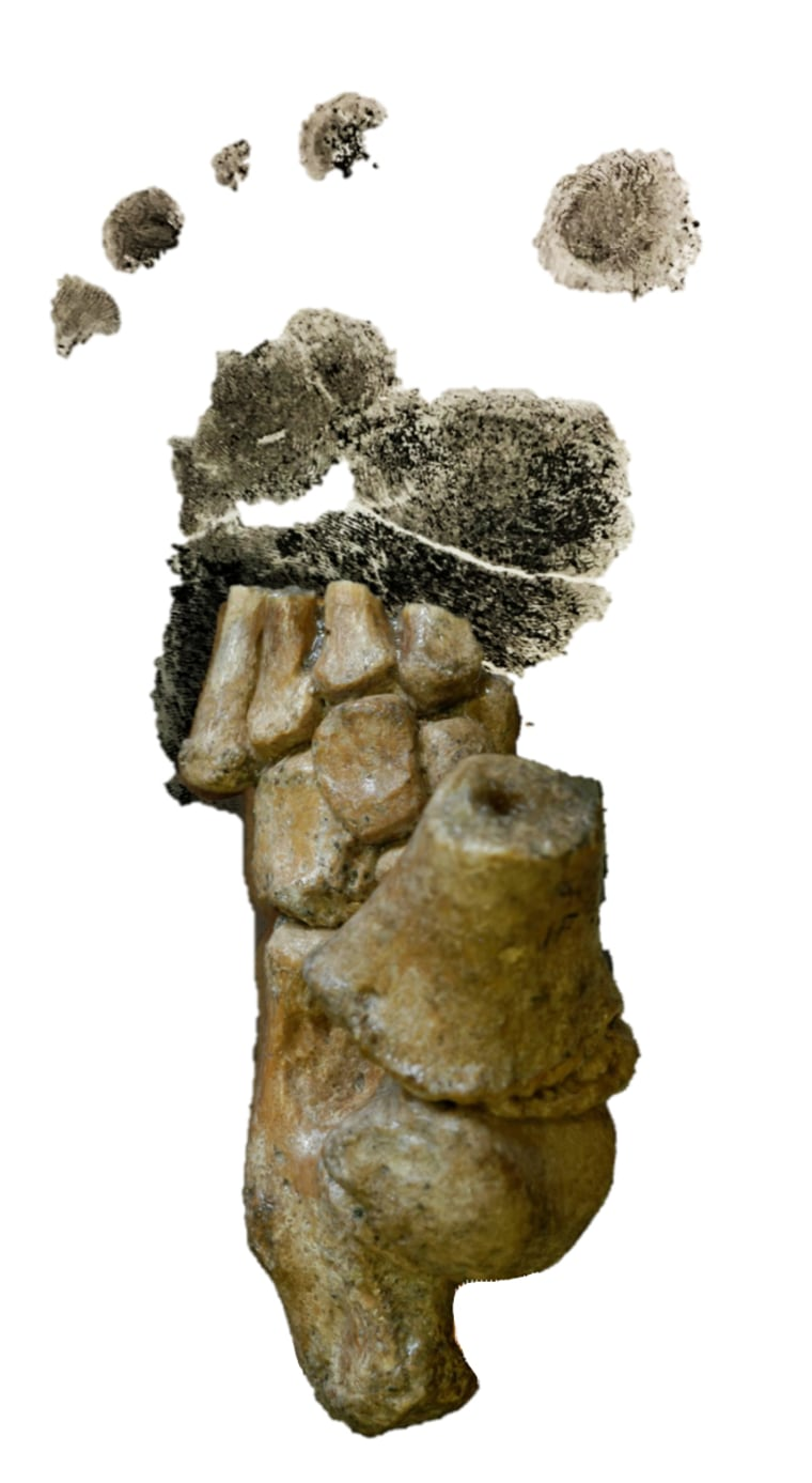 Image: A 3.32 million-year-old Australopithecus afarensis foot from Dikika, Ethiopia, superimposed over researcher Jeremy DeSilva's toddler's footprint.