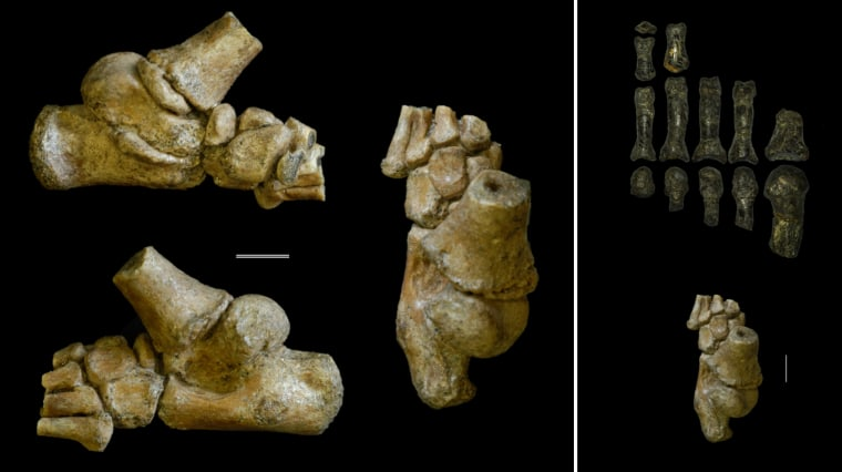 Image: Foot of an Australopithecus afarensis toddler