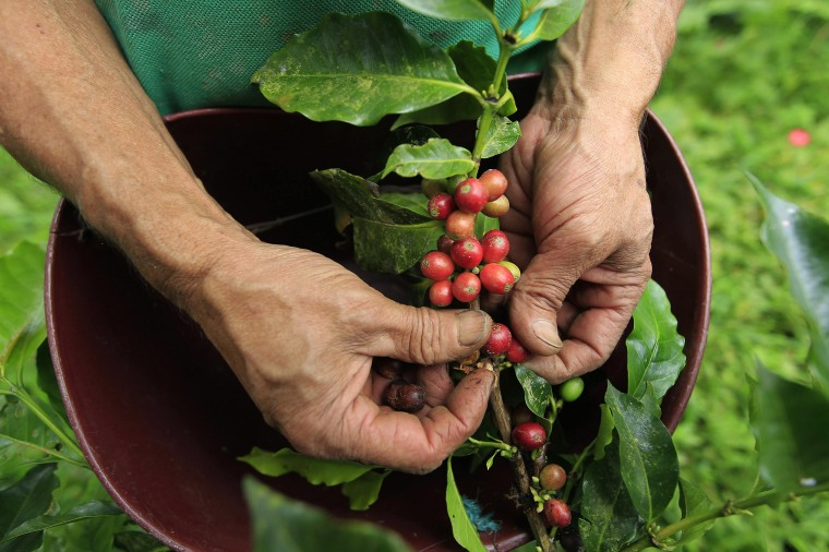 Image: A farmer harvests coffee beans at a farm near Sasaima city
