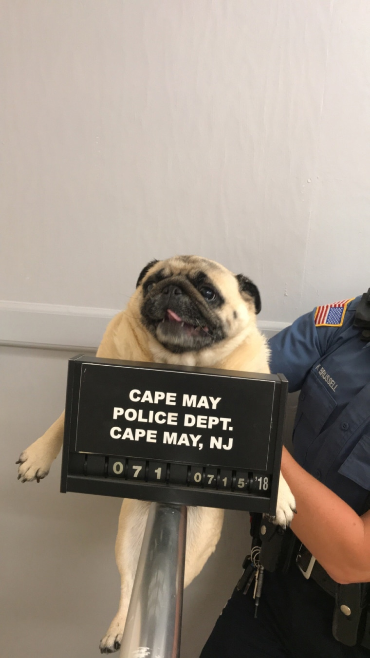 Pug Shot of runaway dog from Cape May, New Jersey, police department