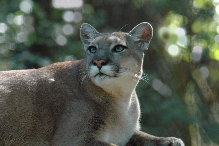 Image: Florida Panther