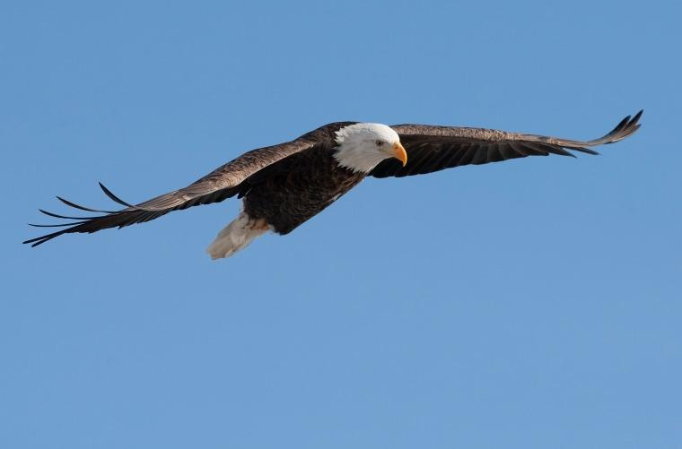 Bald Eagles Fishing Along The Mississippi River