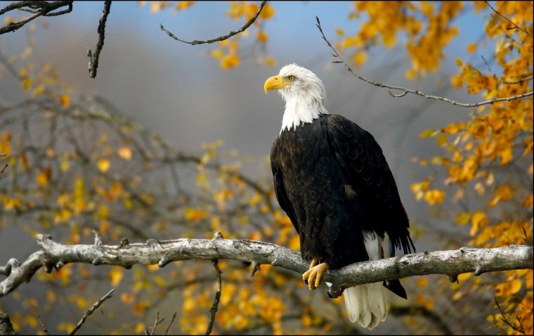 Image: FILE PHOTO: A bald eagle sits in a tree in the Chilkat Bald Eagle Preserve near Haines, Alaska