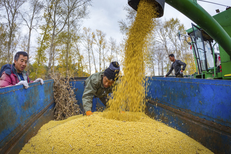 Chinese farmers harvest soy beans in Jiamusi city city, northeast China's Heilongjiang province, in October 2017.