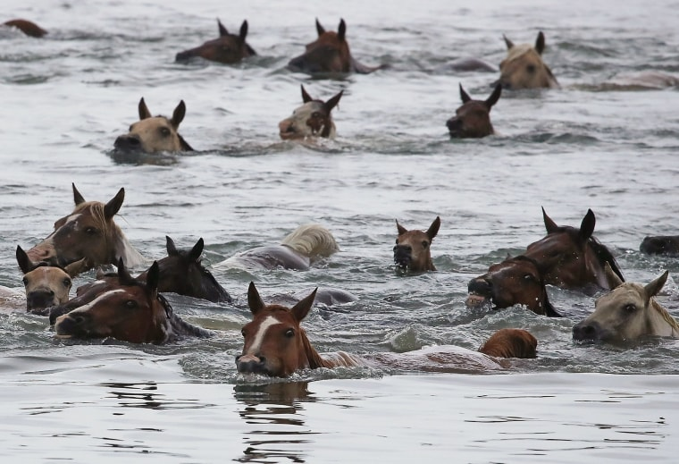 Image: Wild ponies swim across the Assateague Channel