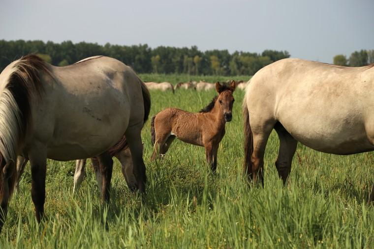 Image: Konik horses graze in Oostvaardersplassen