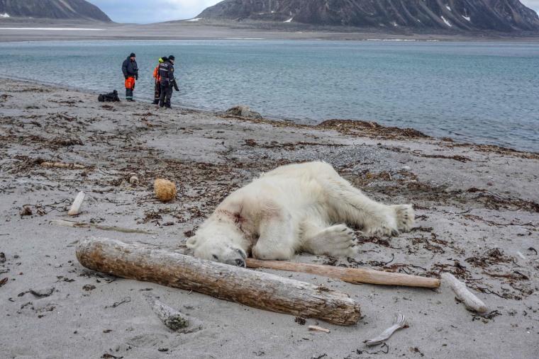 Image: TOPSHOT-NORWAY-ARCTIC-ANIMALS-POLAR-BEAR