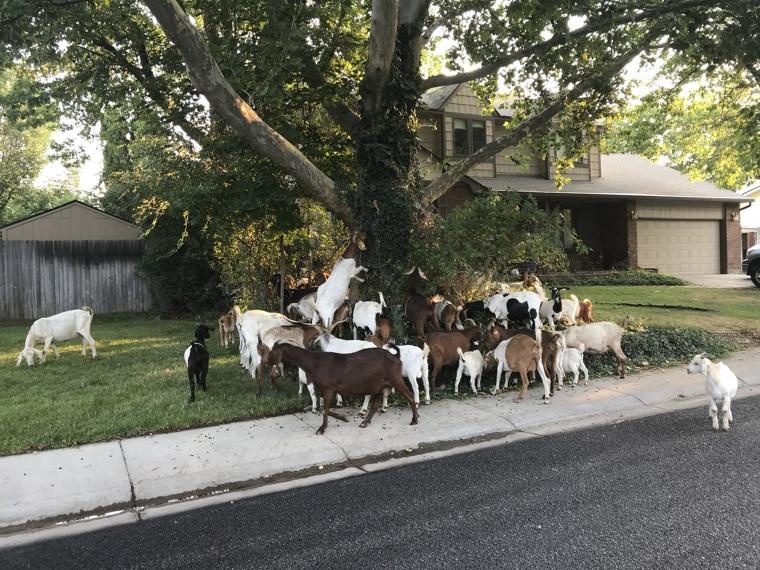 Image: Boise Loose Goats