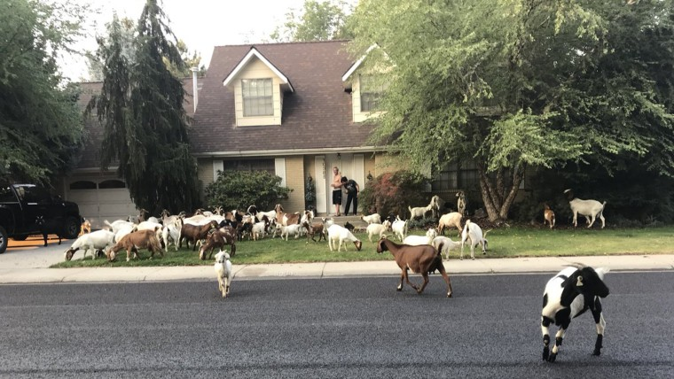 Dozens of professional goats briefly take over  neighborhood