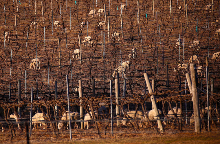 Image: Sheep can be seen between rows of vines at a winery located on the outskirts of the drought-effected New South Wales town of Mudgee