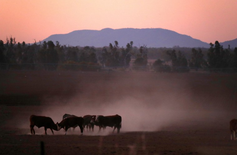 Image: Cattle push each other as they kick-up dust at sunset on farmer Tom Wollaston's drought-effected property, located west of the town of Tamworth