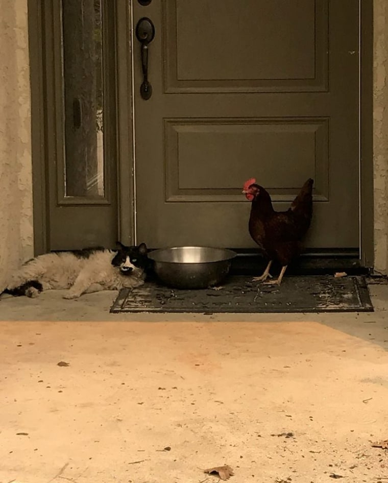 """Cat, chicken """"huddled together"""" after California wildfire"""