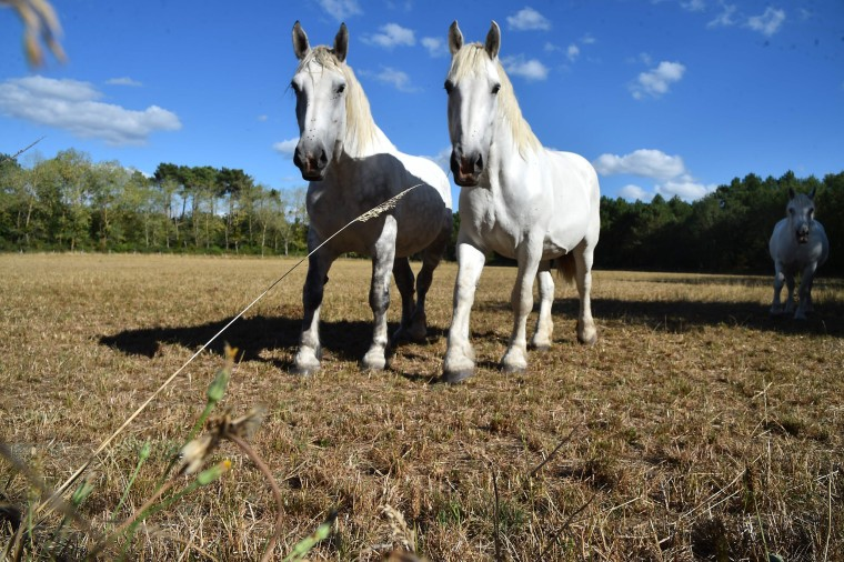 Image: Horses search for grass near La Breille-les-Pins, France