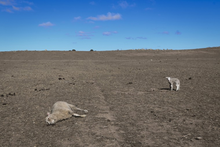Image: A lamb stands by its dead mother at Billaglen farm near Braidwood, Australia