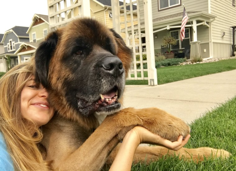 Leonberger, Zeus, and his owner laying in the grass