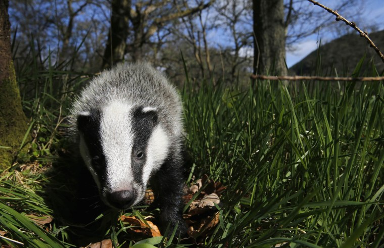 Image: A badger
